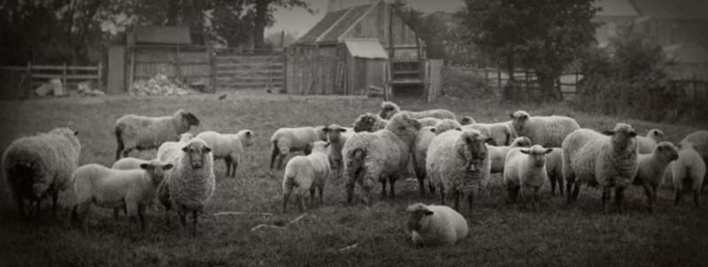 sheepwebsize
